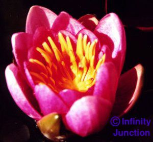 water lily - close-up