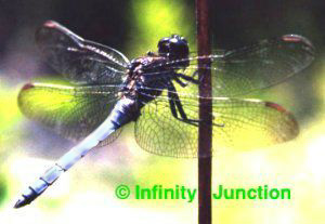 iridescent blue dragon fly